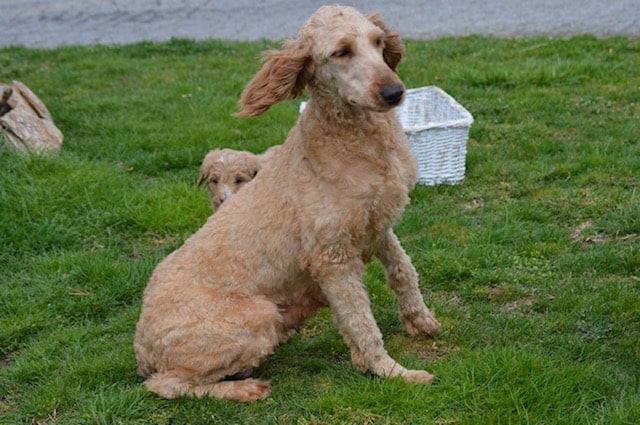 Sandy, the Goldendoodle mom