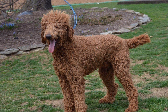 Red, the Poodle dad