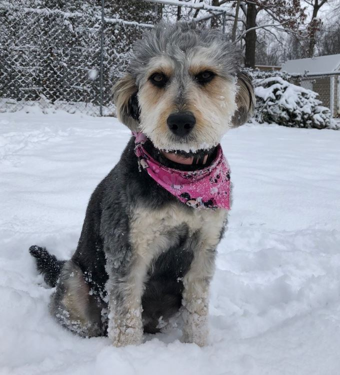Tadley, Aussiedoodle mom playing in the back yard during a snow last winter