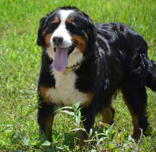 Bernese Mountain Dog mom