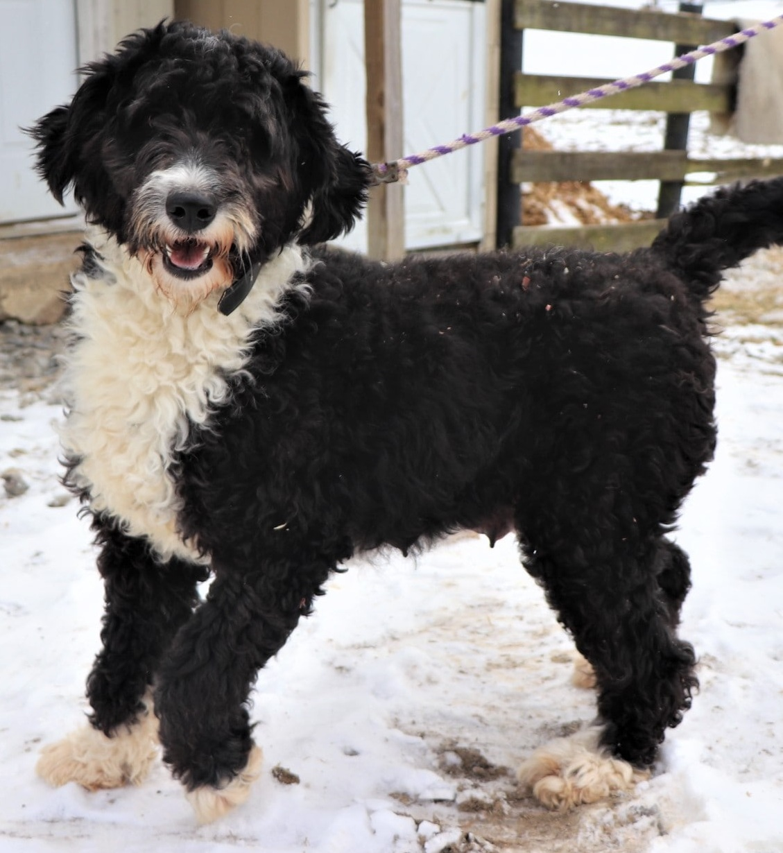 Carrie, the Bernedoodle mom