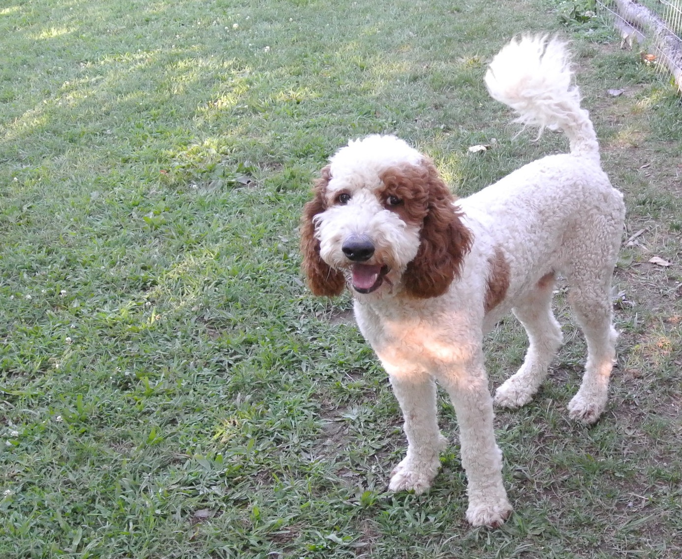 Yankee, the standard Poodle dad