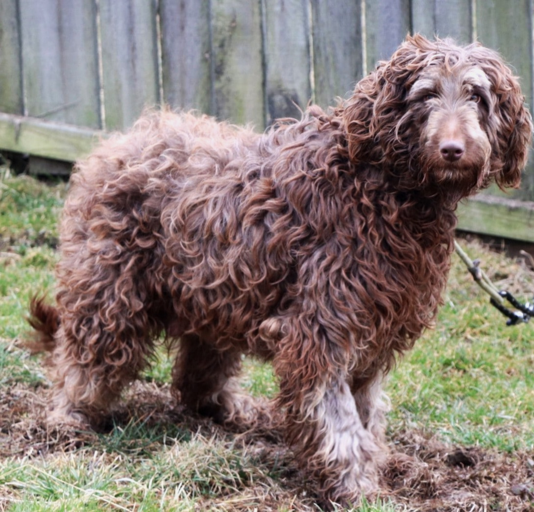 The Labradoodle mom