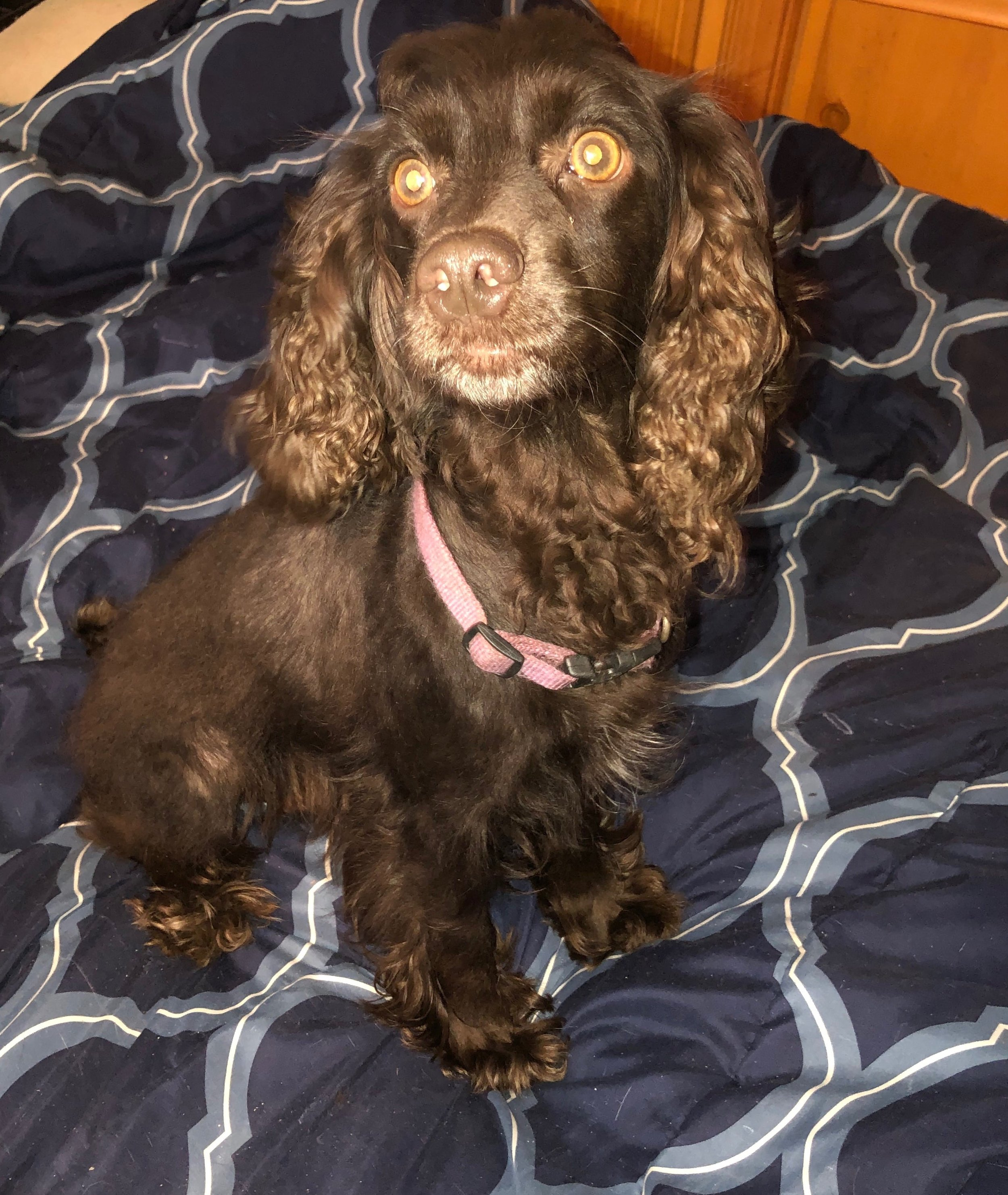 Toffee, the Cockapoo Mom