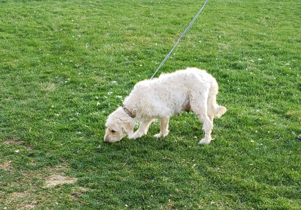 Maggie, the Goldendoodle mom