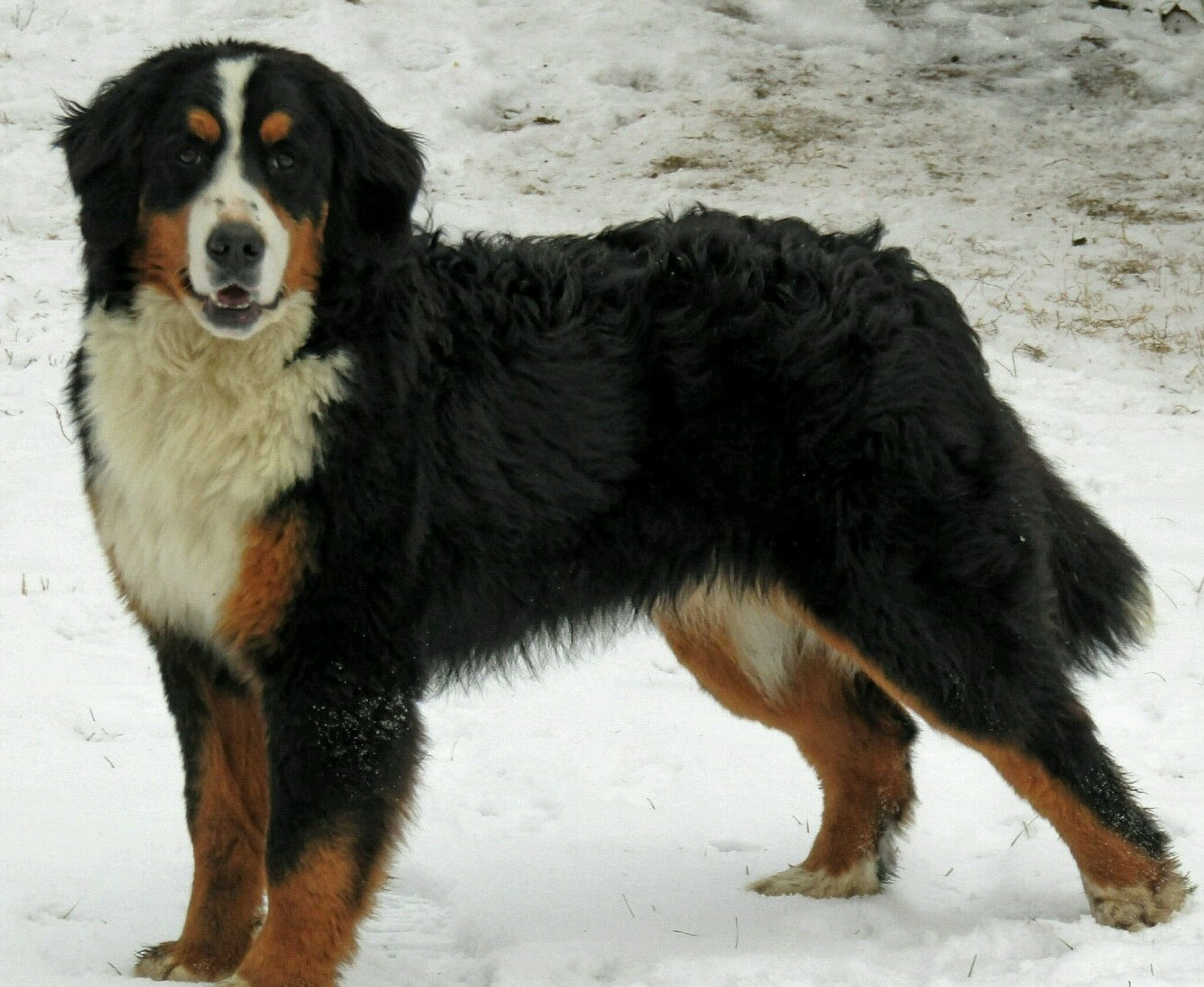 Lacy, the Bernese Mountain Dog mom