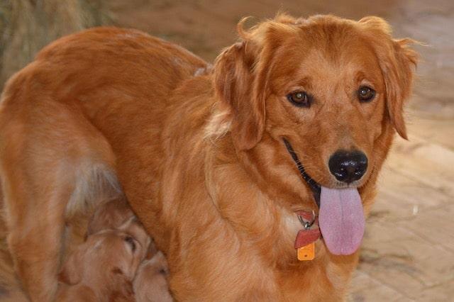Lassie, the Golden Retriever mom