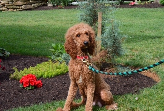 Lexus, the Poodle mom