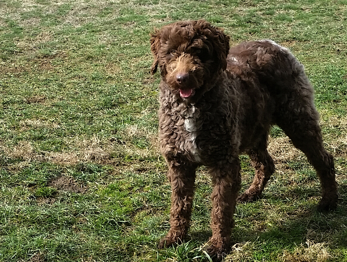 Aussiedoodle mom