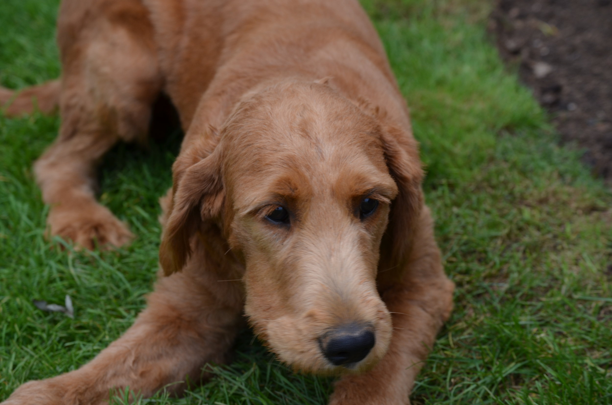 Mandy, the Goldendoodle mom