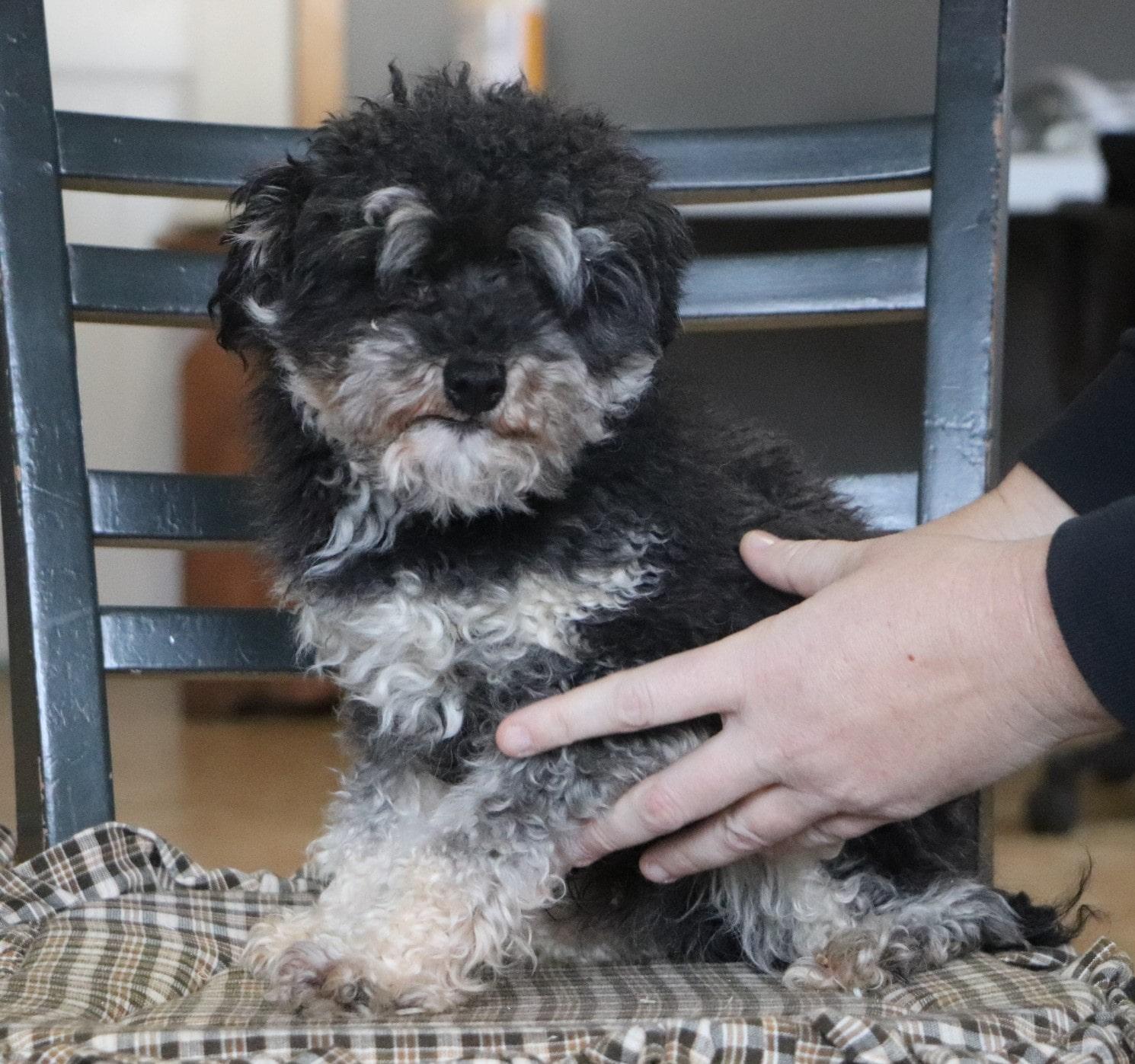 Freddie, the Mini Poodle dad