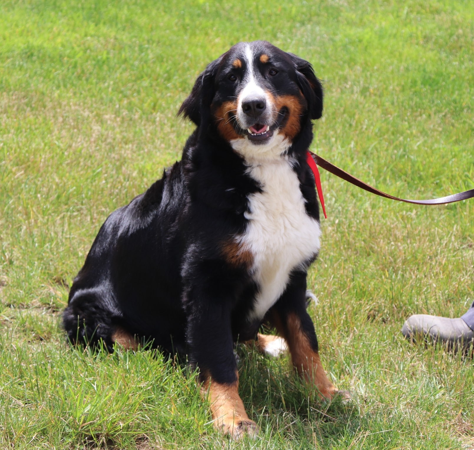 Roxie, the Bernese Mountain Dog mom
