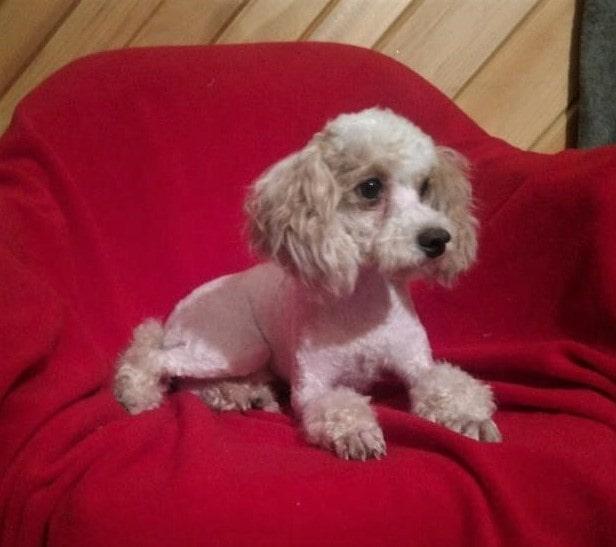 Ronald, the Mini Poodle dad