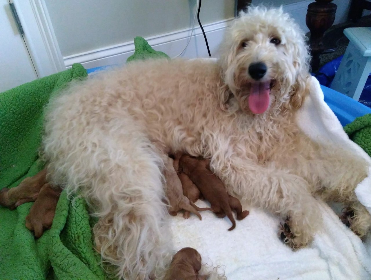 Greta, the Goldendoodle mom