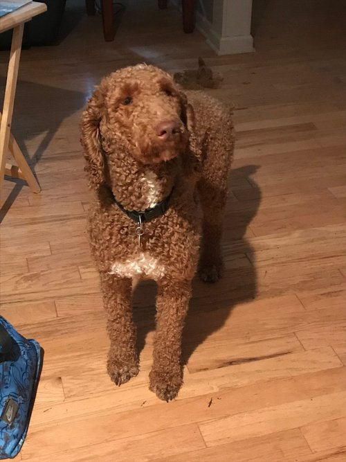 Moji, the Standard Poodle dad