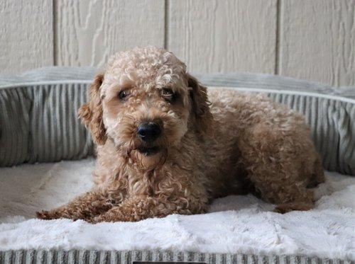 Zip, the Mini Poodle dad