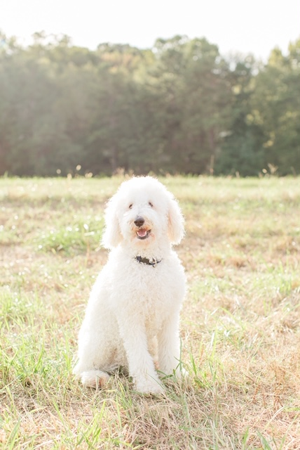 Brooks, the Goldendoodle mom
