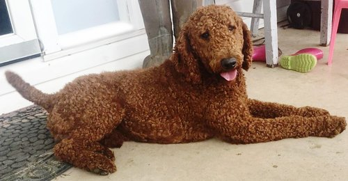 Clifford, the Standard Poodle dad