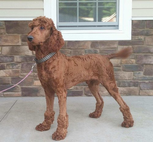 Red, the Standard Poodle dad