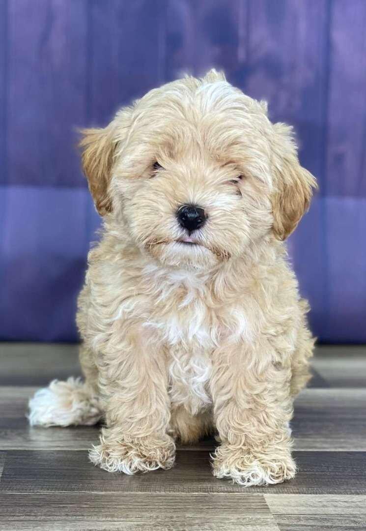 Maltipoo Puppies For Sale Reasonable Adoption Rates