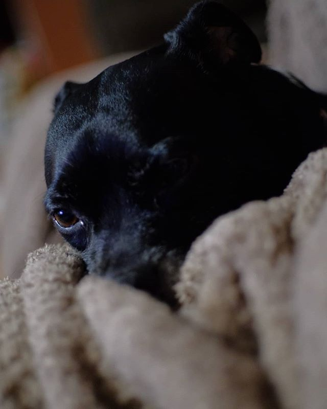 Lapdog.  #MurderfaceJones #ChiPit #YouCantGetShallowDepthOfFieldOnAPSC #FujiFilm #XT2 #Rokkor #Minolta #40mmF2 #DogsOfInstagram