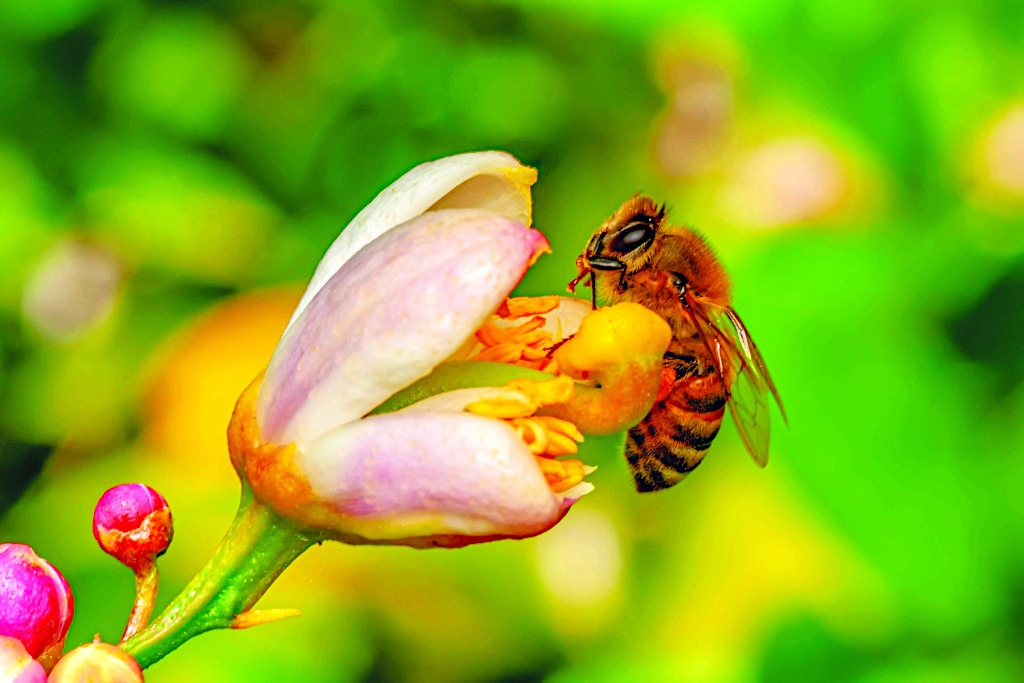 Honeybee Pollinating a Flower