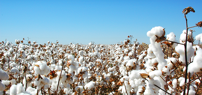 cottonslide1.jpg