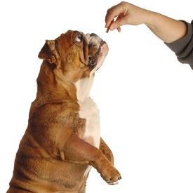 Bull-dog-with-treat.jpg