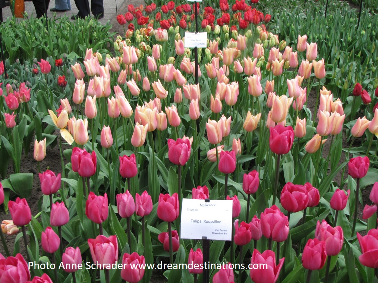 Tilips at Keukenhof Gardens