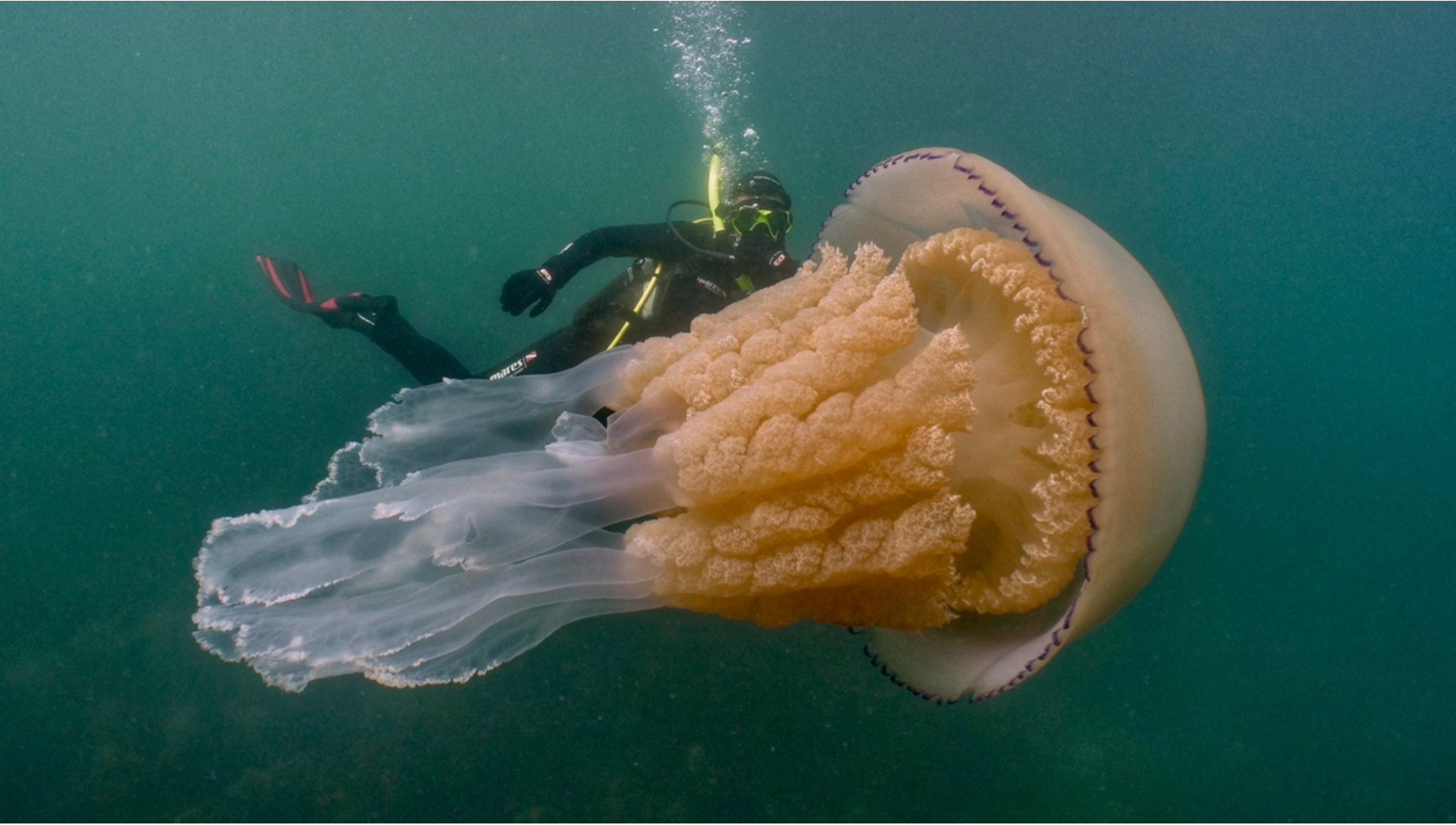A Giant Jellyfish Photo credit:  Dan Abbott
