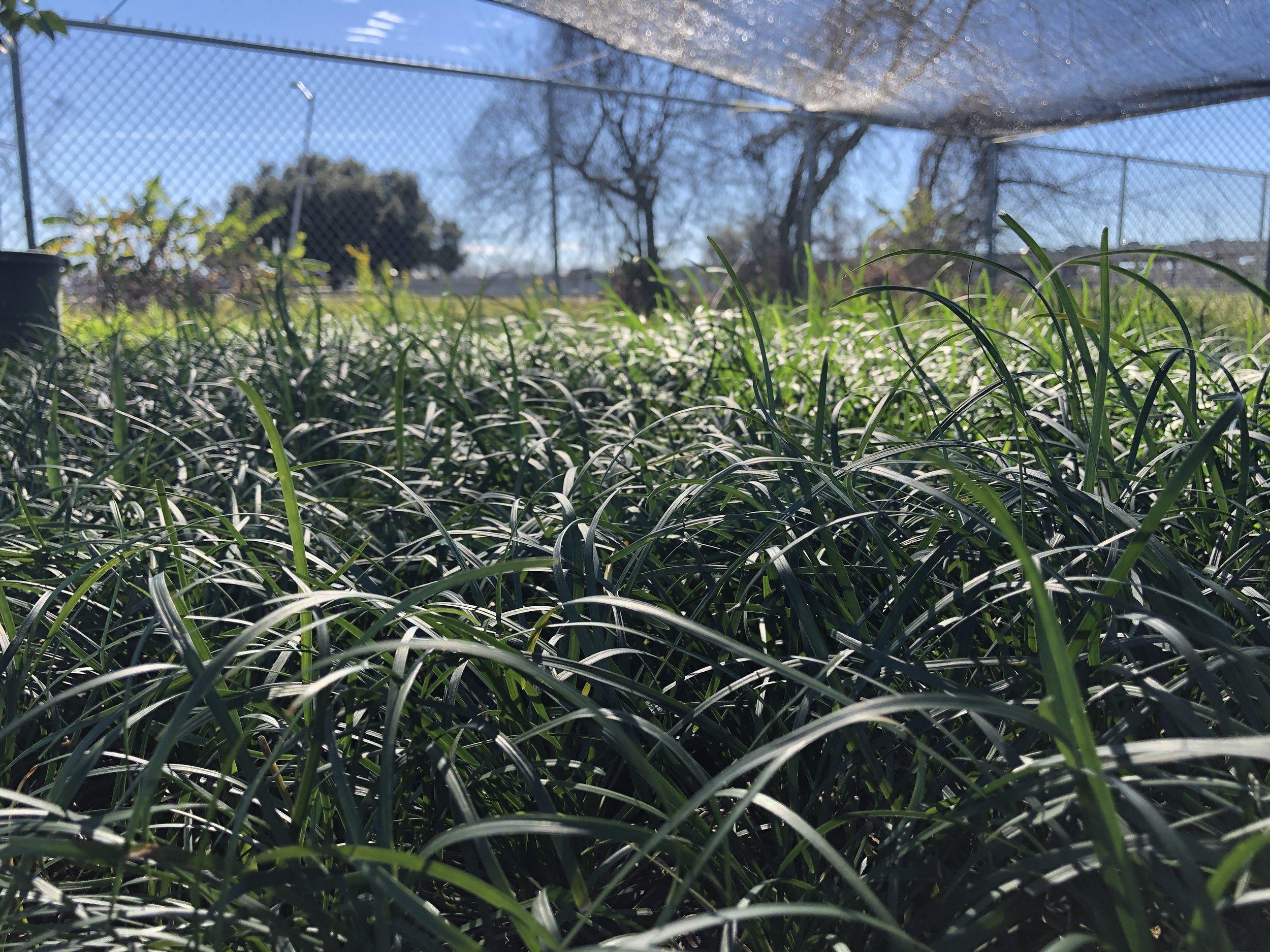 Groundcovers - Mondo Grass, Asian Jasmine, Liriope…