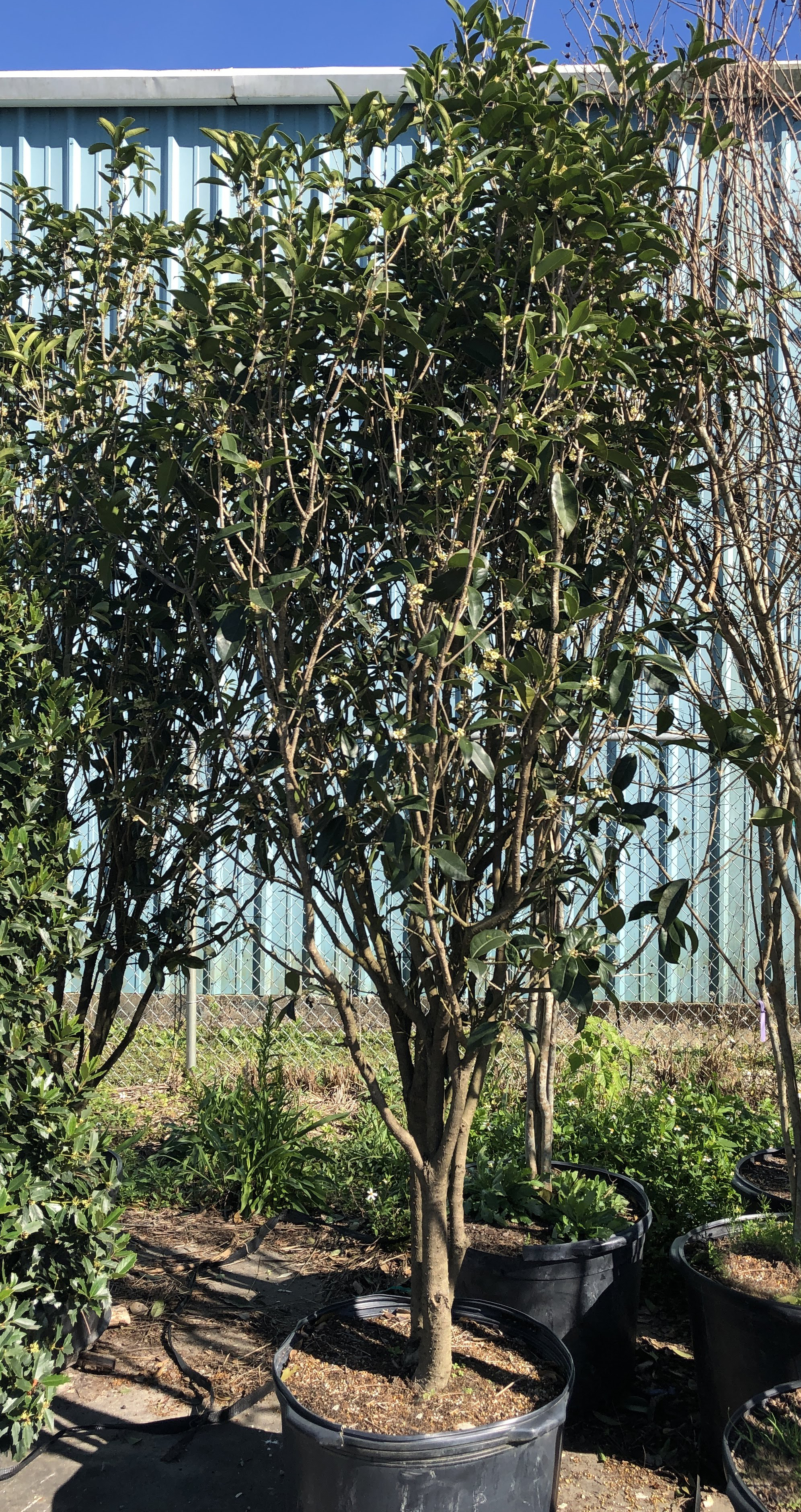Trees - Oaks, Hollies, Crape Myrtles…