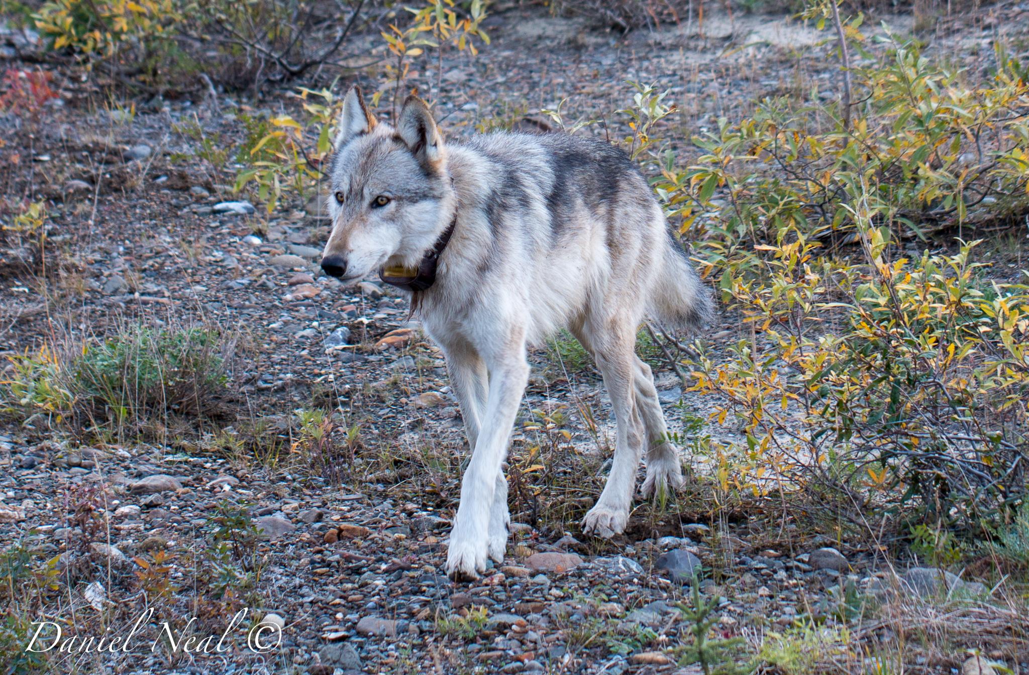 Wolf_3.JPG