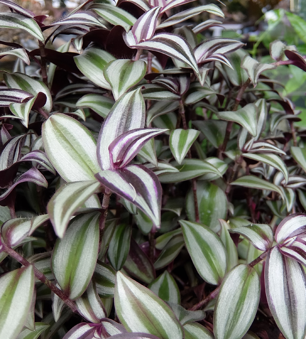 TRADESCANTIA FLUMINENSIS: This may be grown as an indoor plant invariegated forms. It requires moist soil to do well.
