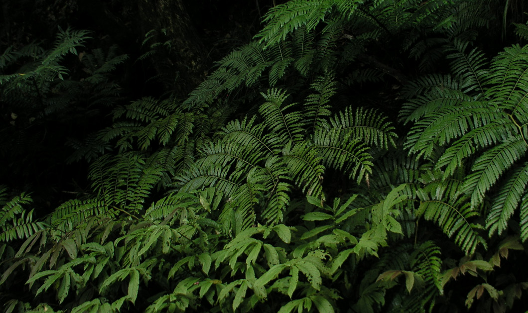 PTISANA SALICINA: An at-risk; giant, lush fern ideal for deep, damp shade.