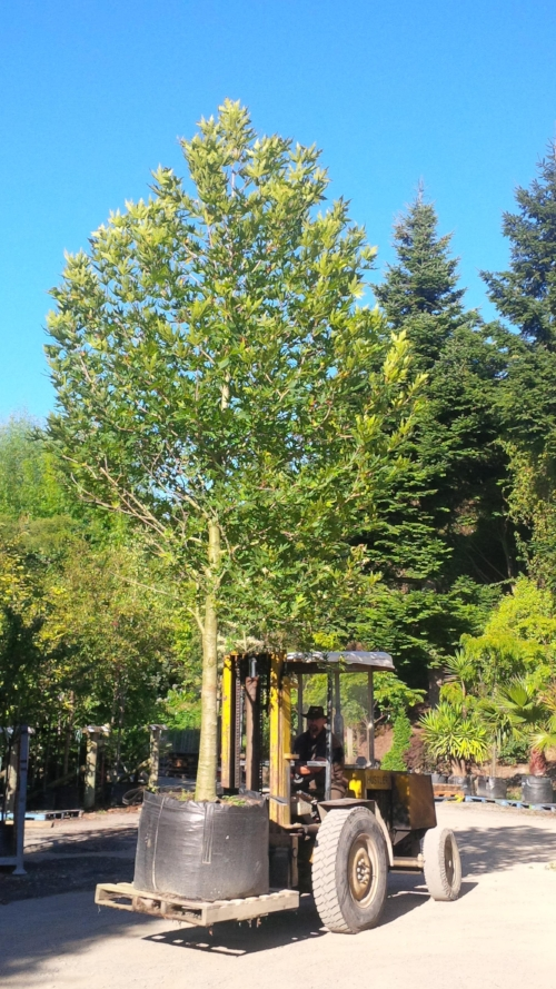 Over 10 years the platanus orientalis (Oriental Plane) grows to a height of 9m. It's perfect for large lawns and parks, providing good shade. It also tolerates pollution well.