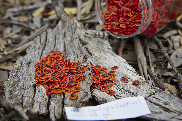 Some of the very different species Simon works with - these are acacia seeds