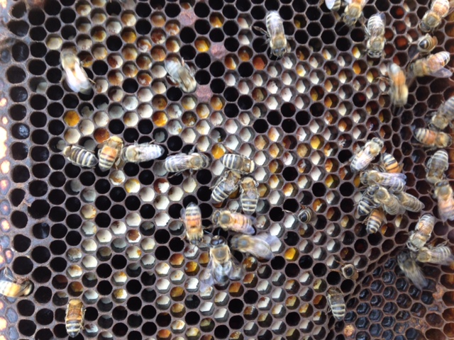 Bees with different kinds of pollen collected.
