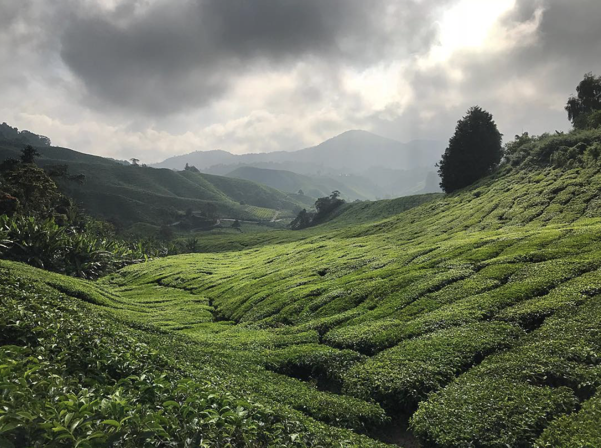 The Boh tea plantations in the Cameron Highlands, Malaysia.  This is one of Emily Sutherland's favourite photos from her instagram account wandering_landscape_architect