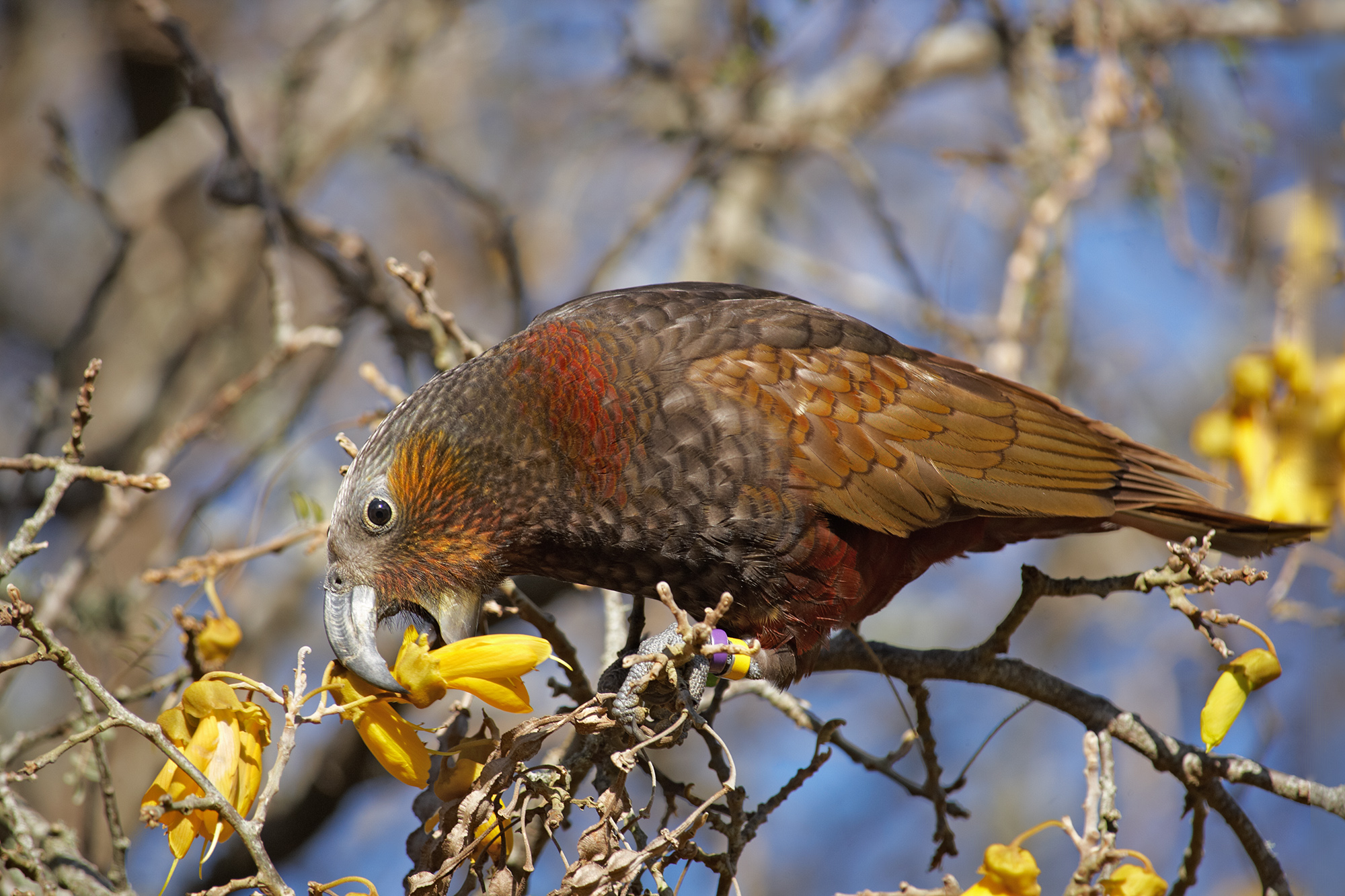 An adult North Island kaka feeding on kowhai flowers. Photo credit - Department of Conservation.