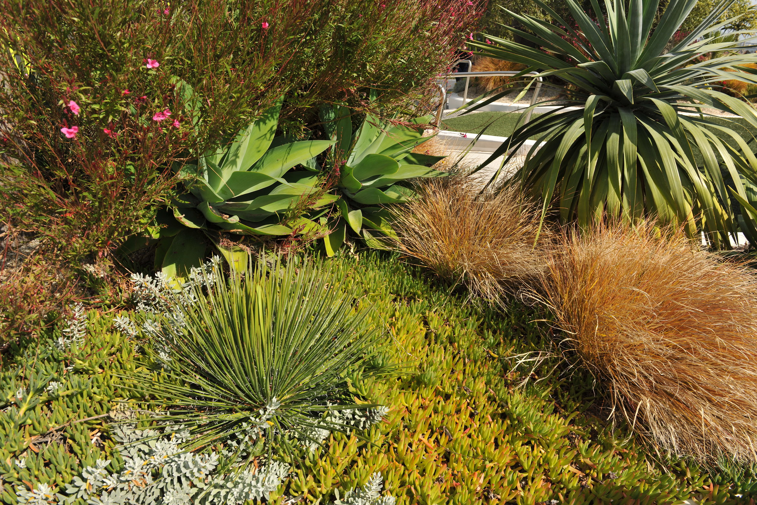A profusion of hardy succulents and grasses compete for space. The long-lived Agave geminiflora (foreground) will grow to form a large, tall flowering highlight. Photo credit: Michael Wright