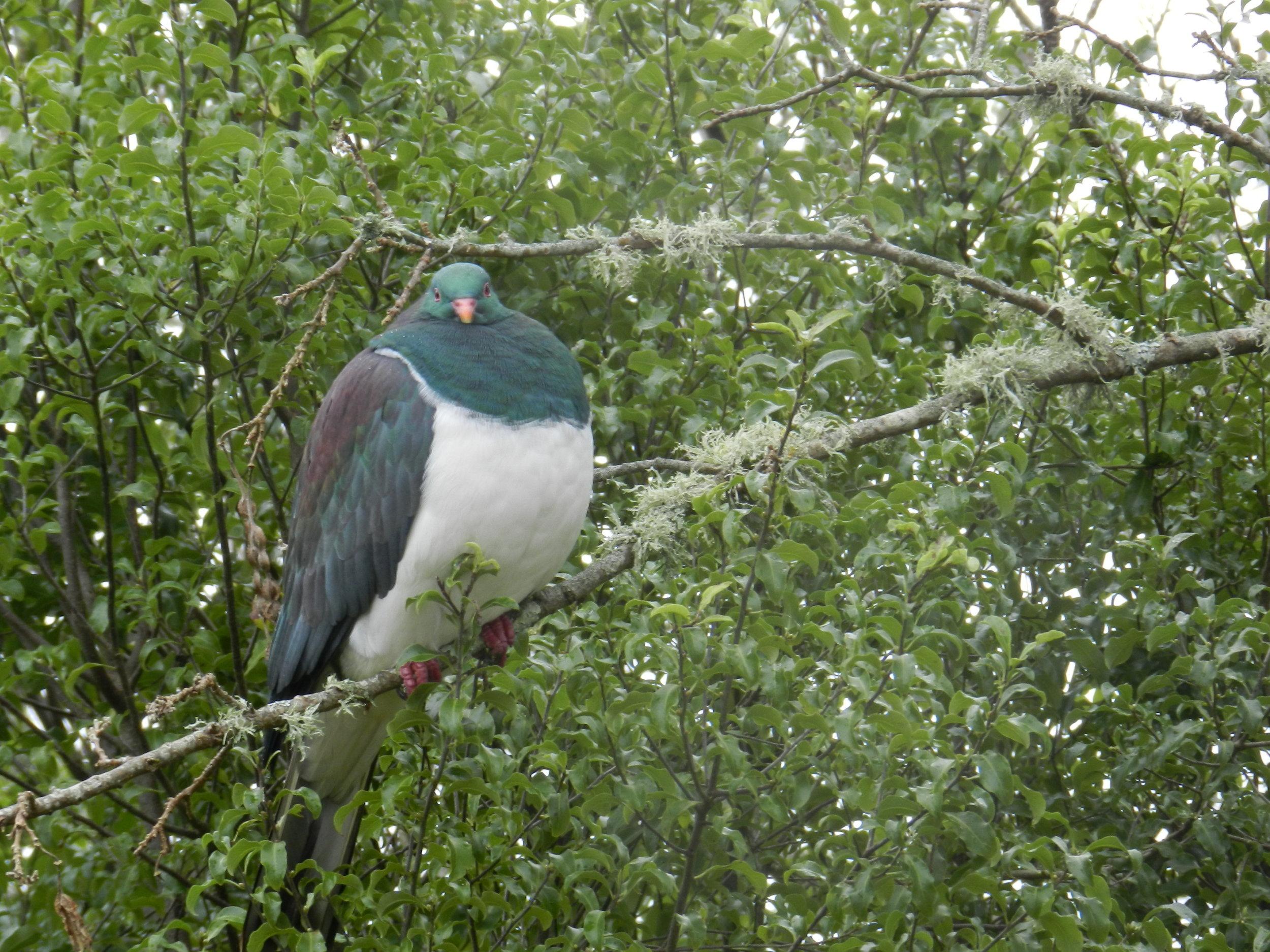 The Kereru is New Zealand's native wood pigeon. Photo by John Spavin