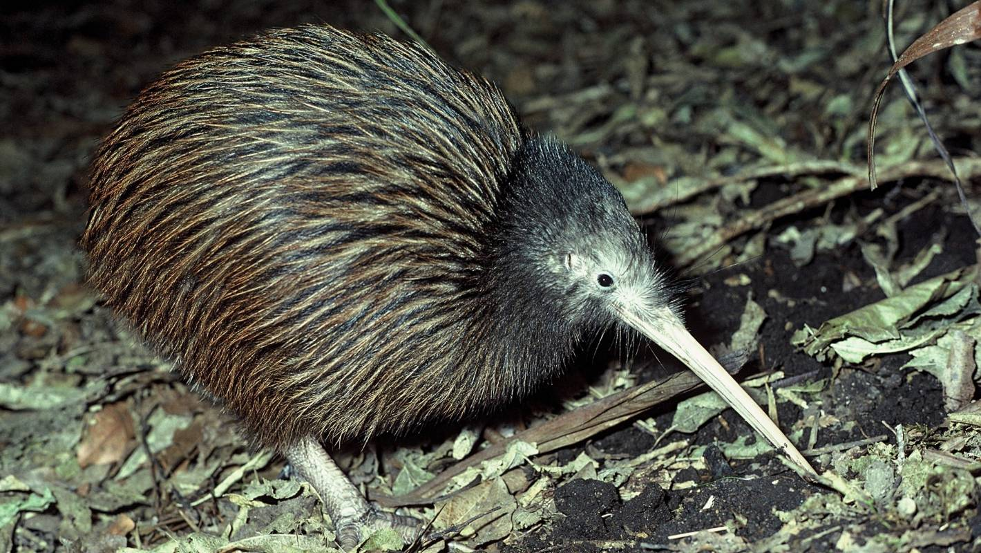 DoC says while the brown kiwi is one of our most common kiwi species its' population is declining by about 2–3 per cent a year.