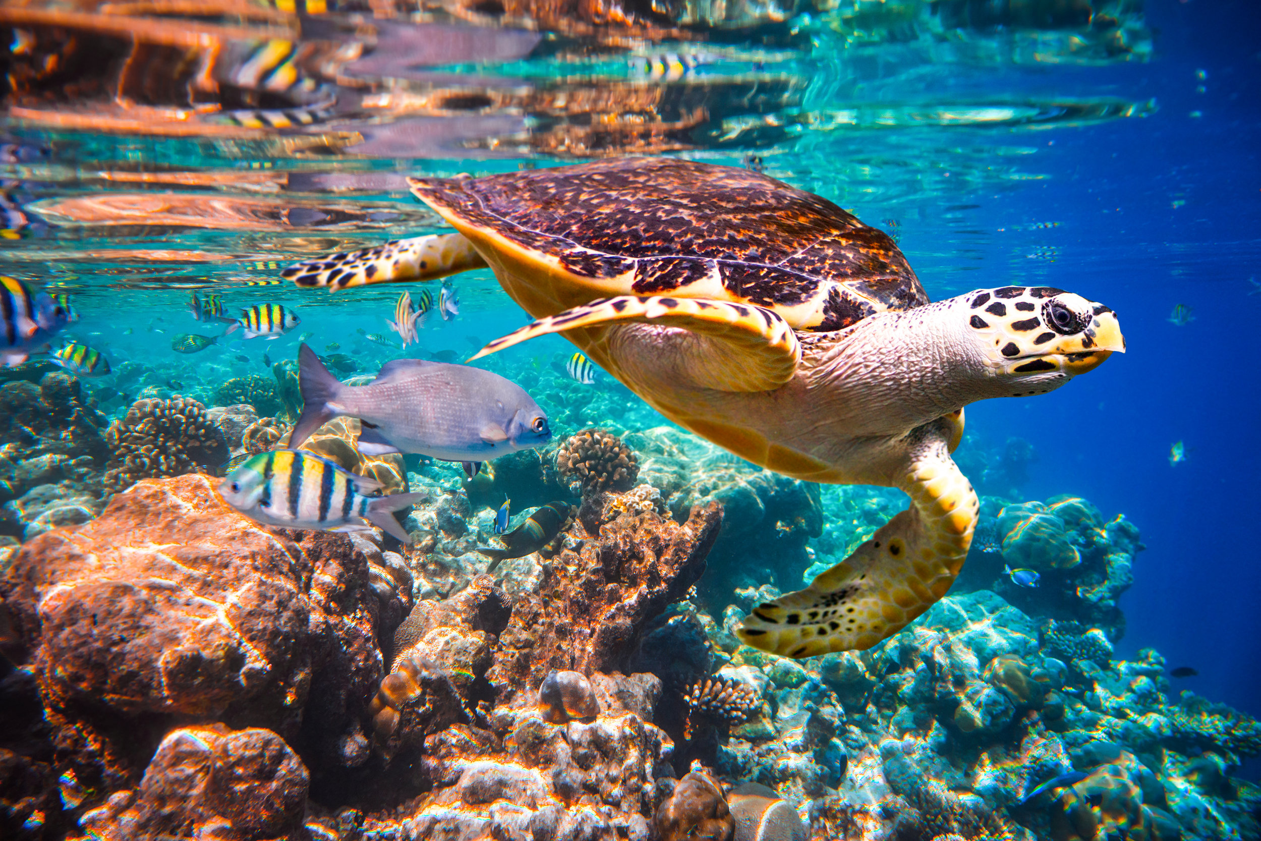 A Hawksbill turtle in the Maldives. Photo credit: Andrey Armyagov/Shutterstock.com