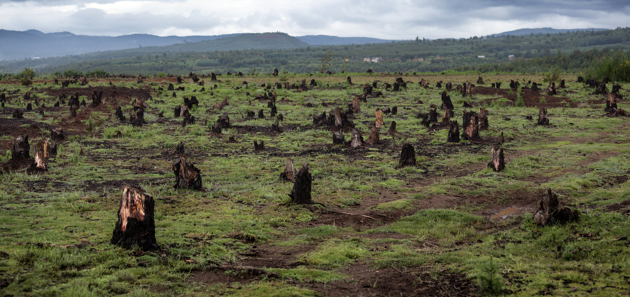 Stumps which are caused by deforestation and slash and burn type of agriculture. Photo credit: Dudarev Mikhail/Shutterstock.com