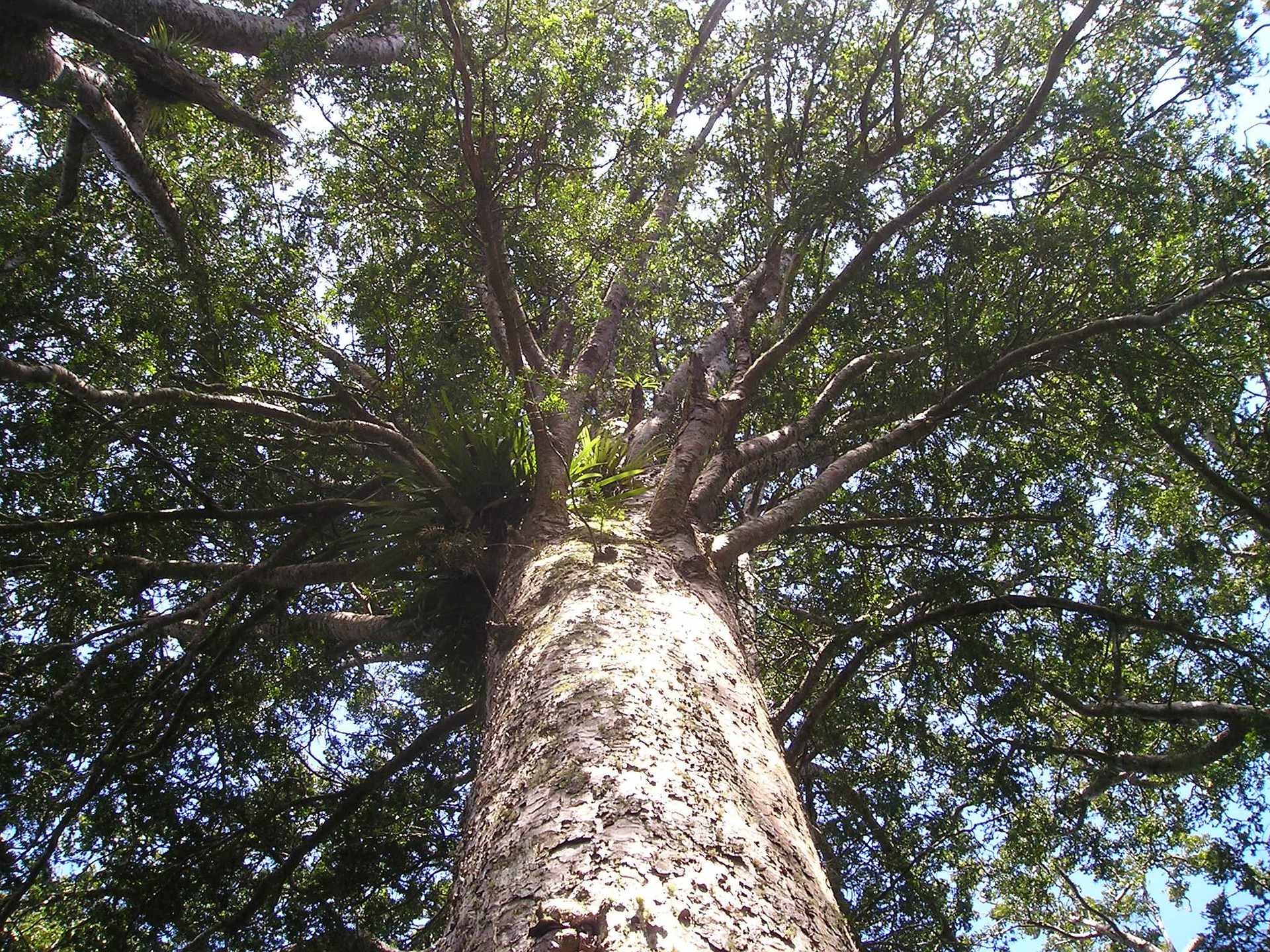 A healthy Kauri tree. Photo credit: Simon Steinberger from Pixabay
