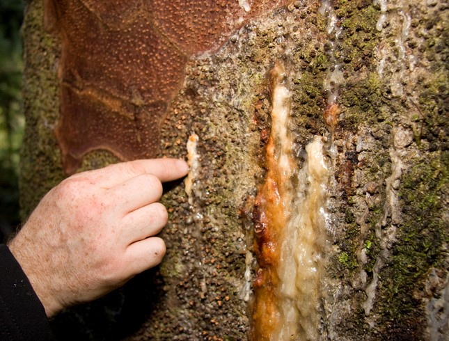 Bleeding gum - this tree has Kauri dieback disease but not all trunk lesions are caused by the disease.