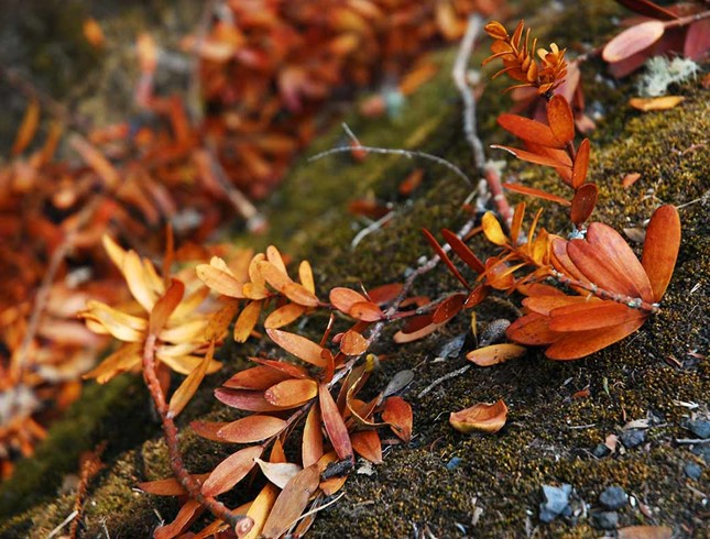 Kauri leaves could turn yellow when a tree is infected with the dieback disease.