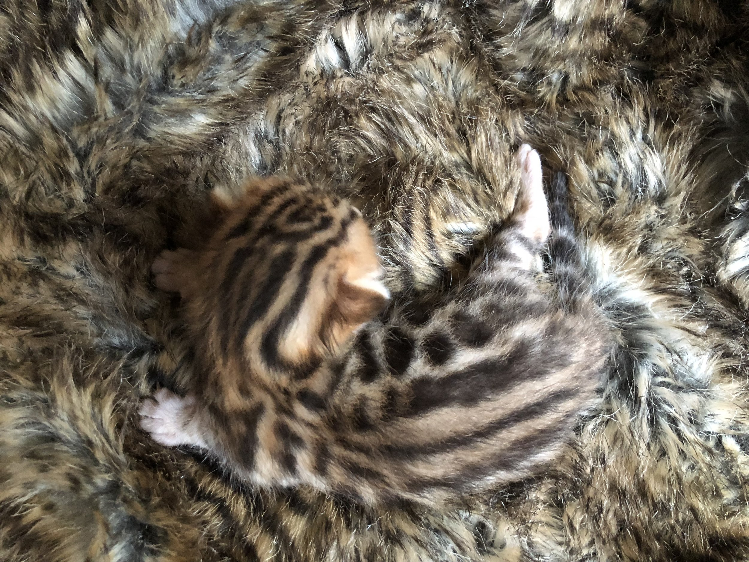 Available Kittens and Bengal Kitten Pricing