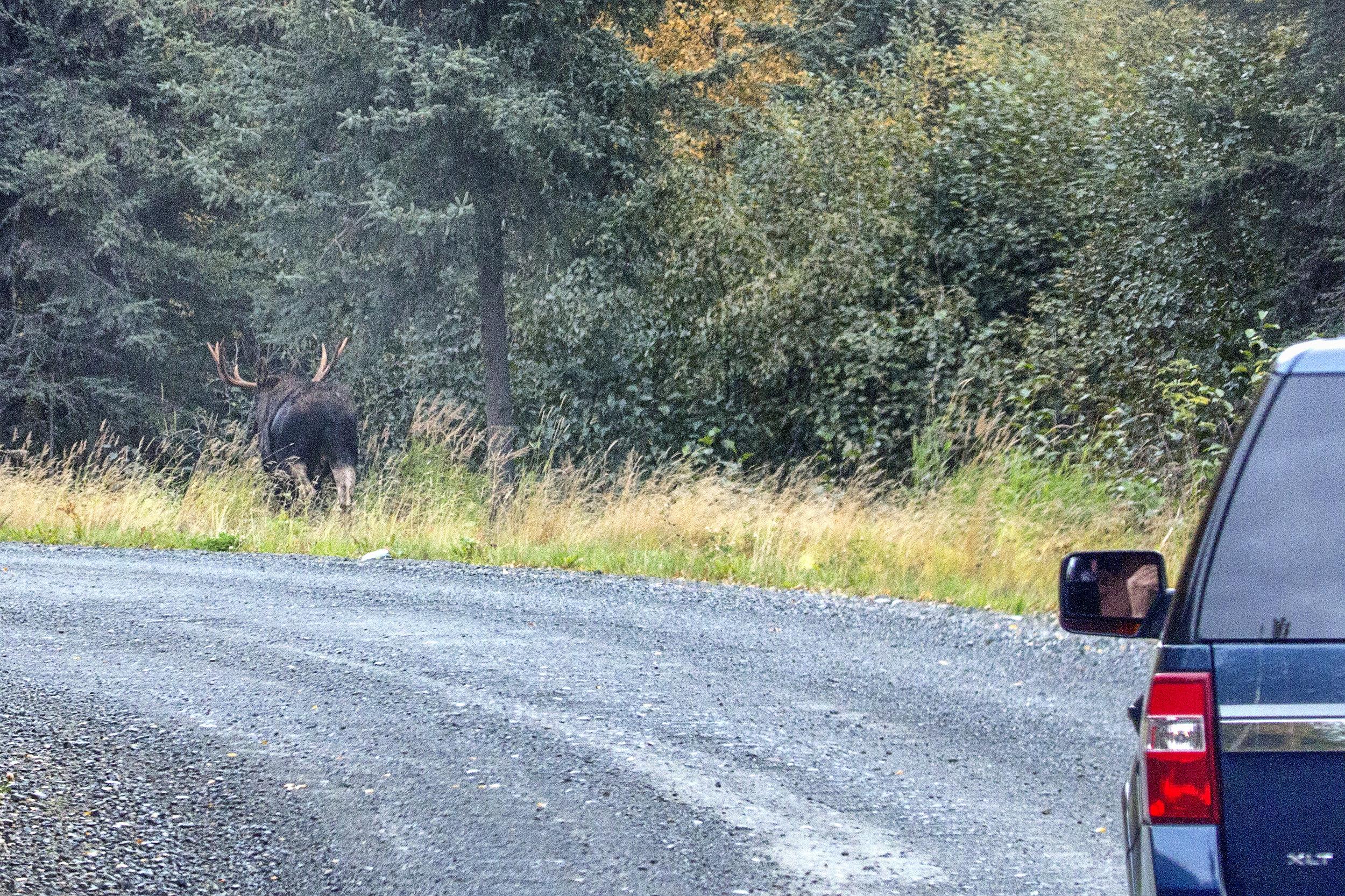 Moose on the Road.jpg